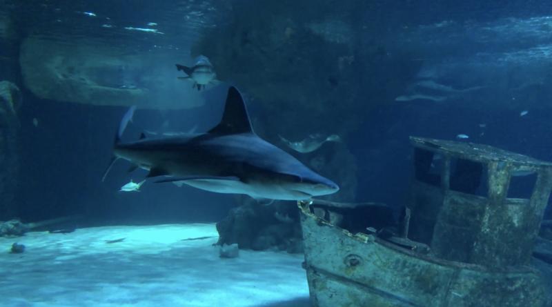 Australian Sharks Océarium Le Croisic - La Baule 24 TV